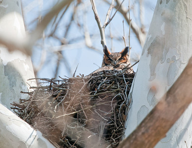 Great Horned Owl Rocky River Reservation