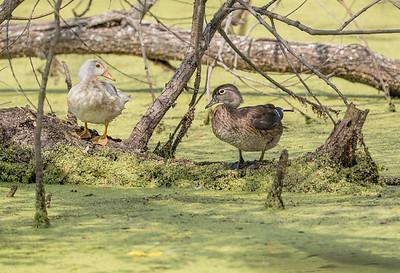 Leucistic Wood Duck
