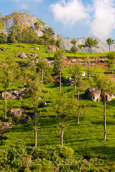 MUNNAR TEA PLANTATION, III