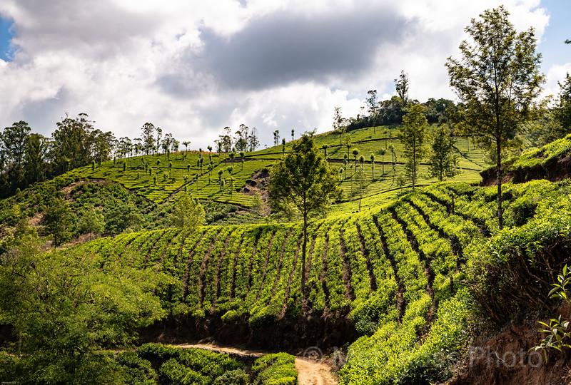 TEA PLANTATION, MUNNAR II