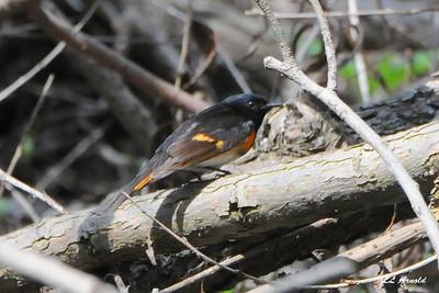 Redstart warbler