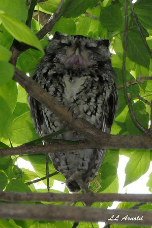 Eastern Screech Owl - Magee Marsh 5-10-09