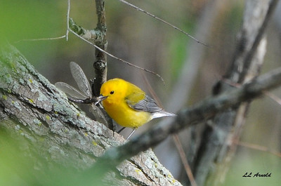 Prothonotary Warbler - Magee Marsh 5-10-09
