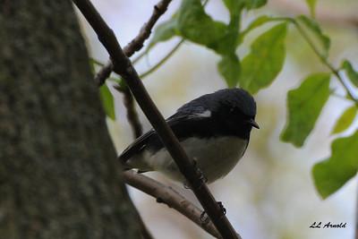 Black throated - blue Warbler - Magee Marsh 5-10-09