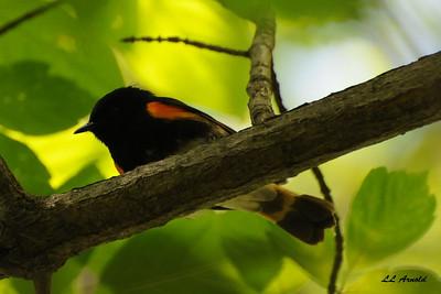 American Redstart  - Magee Marsh 5-10-09
