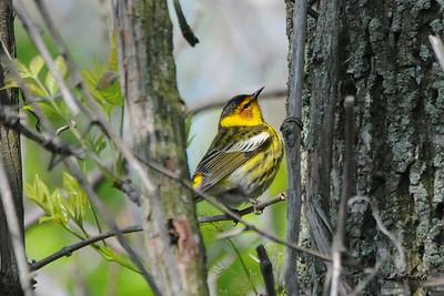 Cap May Warbler - Magee Marsh 5-10-09