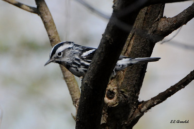Black-white Warbler