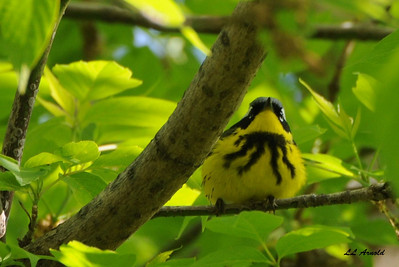 Magnolia Warbler - Magee Marsh 5-10-09