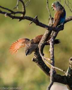 White-browed Coucal confronting a Roller