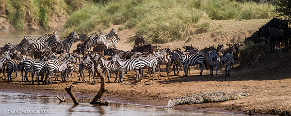 Zebra and Croc at a Mara River crossing