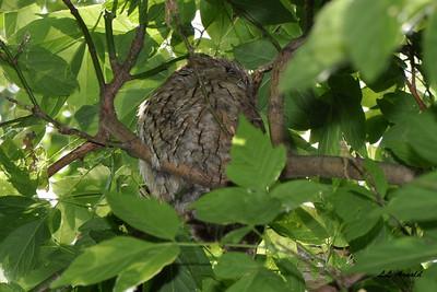 Screech Owl nap time