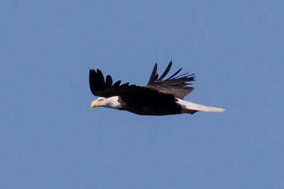 Bald Eagle  IMG_7232