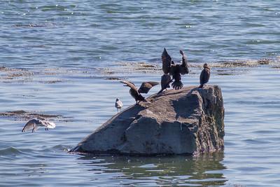 Cormorants on a Rock IMG_7279