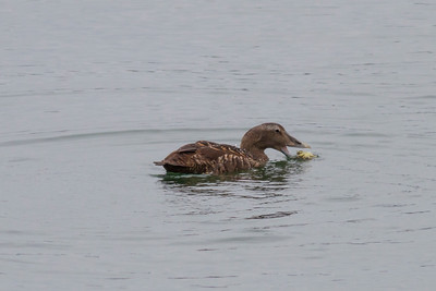 Common Eider with Crab IMG_7479