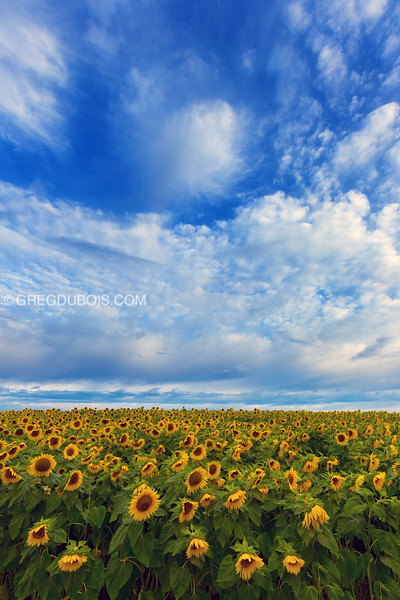 Sunflower Field under Cloudy Blue Sky, Colby Farm Newbury Massachusetts