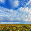 Sunflower Field Horizon under Cloudy Blue Sky, Colby Farm Newbury Massachusetts