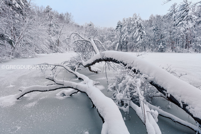 Snow Encrusted Forest with Fallen Tree at Rea's Pond in North Andover Massachusetts