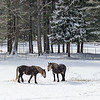 Horses under Falling Snow in Salisbury Massachusetts