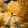 Golden Tree Tunnel and Winding Dirt Road in Boxford Massachusetts