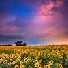 Colby Farm Sunflower Field with Sunrise and Stars, Newbury Massachusetts