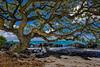 Tree in Mauritius