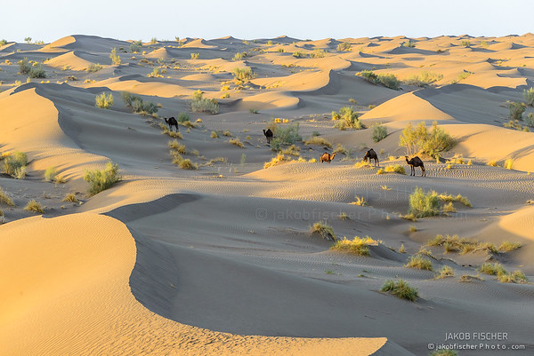 wild camels and Sand dunes