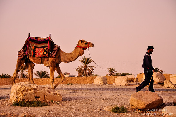 camel with its leader in the oasis of Palmyra