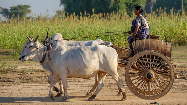 The waterlady ox cart