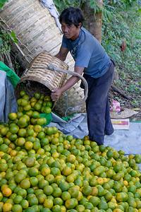 Harvesting oranges at Kalaw
