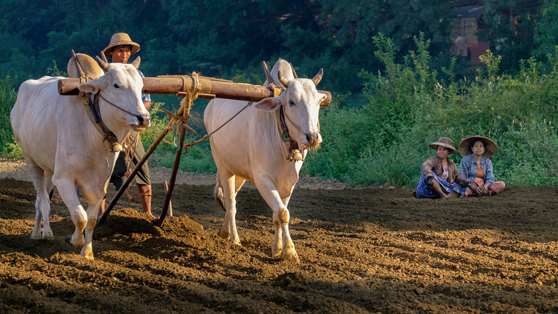 Oxen plowing in Mandalay (Myanmar)