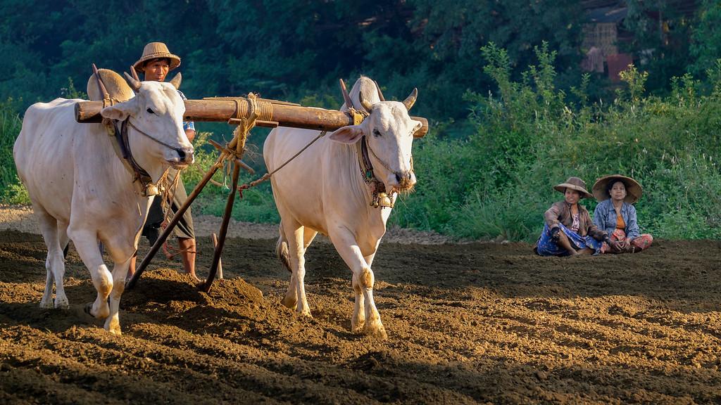 Oxen plowing in Mandalay (Myanmar)