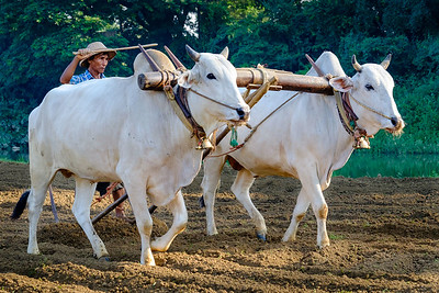 Oxes plowing near Mandalay