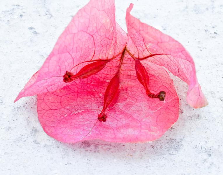 Pink flower, Mykonos, Greece
