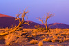Namibia, Africa: Golden Grasses and Trees in Afternoon Desert Light at Sossusvlei