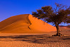 Namibia, Africa: Flourishing Tree with Sand Dune at Sossusvlei