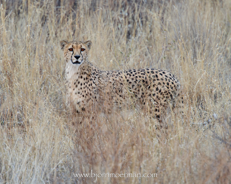 Cheetah at Okonjima, Africat foundation