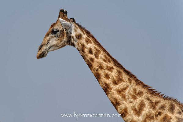 Giraffe at Klein-Namutoni Etosha