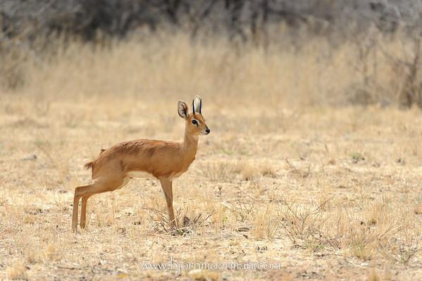 Steenbok at Okonjima