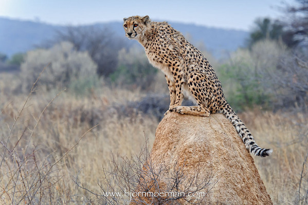 Cheetah on a termite mount at Okonjima, Africat foundation