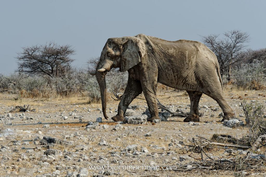 Elephant at Klein-Okevi, Etosha
