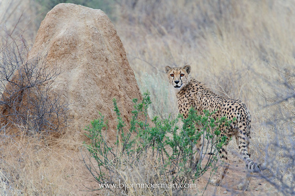 Cheetah at Okonjima, Africat foundation