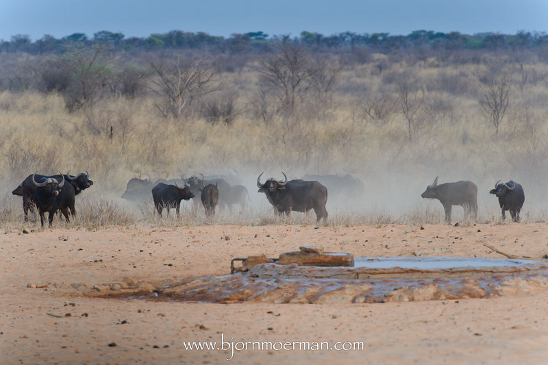 Buffalo on the run at Waterberg