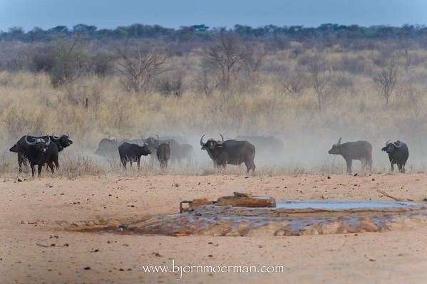 Buffalo on the run at Waterberg