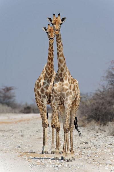 Pair of giraffes at Klein-Namutoni Etosha