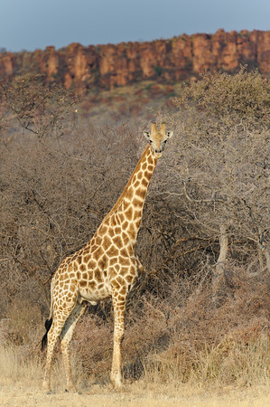 Giraffe with Waterberg plateau in the background