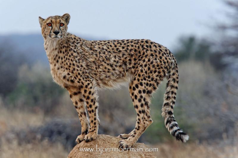 Cheetah on a termite mount at Okonjima, Africat foundation