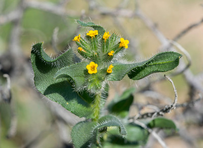 Bristly Fiddleneck