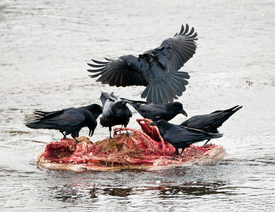 Ravens on a wolf killed elk carcass