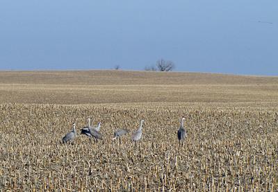 Kearney area 2010-Sandhill Cranes 1