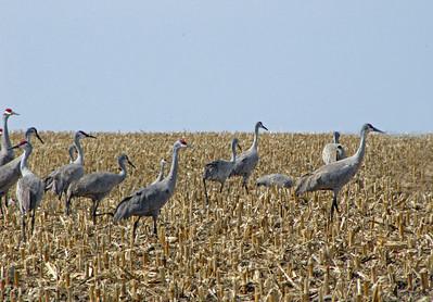 Kearney area 2010-Sandhill Cranes 7